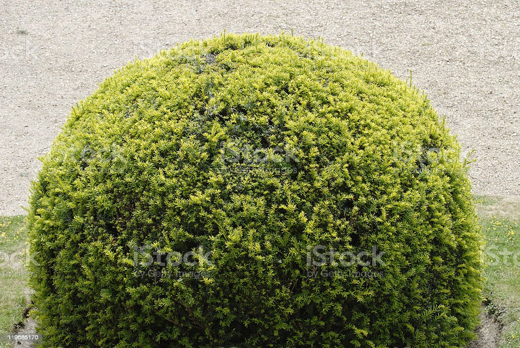 Topiary Yew bush in English country garden. stock photo
