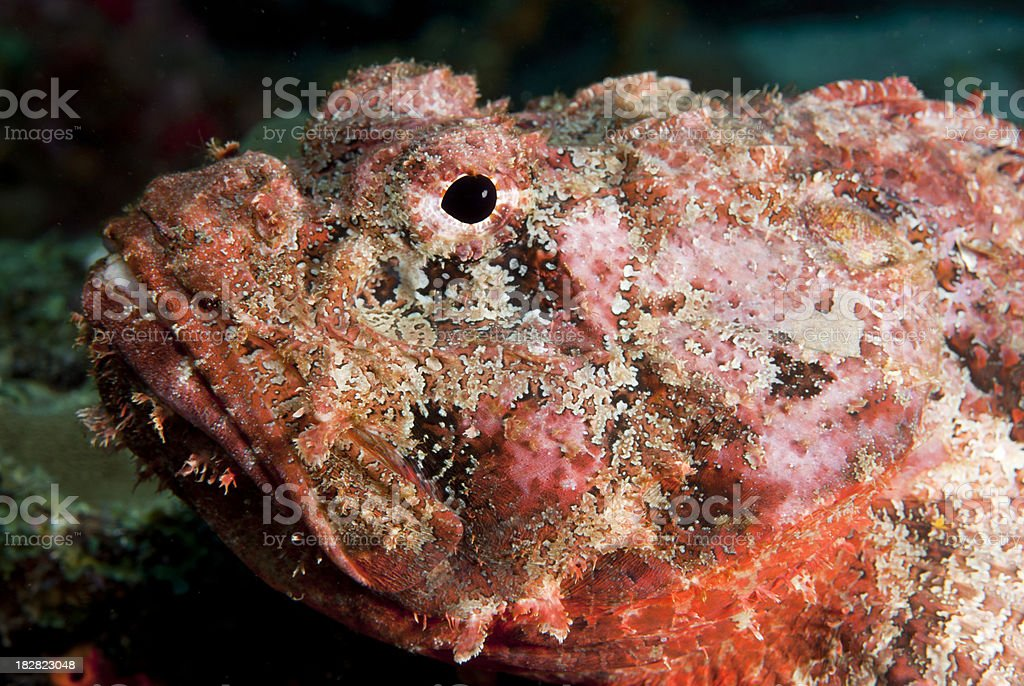 Topical saltwater fish Reef Stonefish - Synanceia verrucosa stock photo