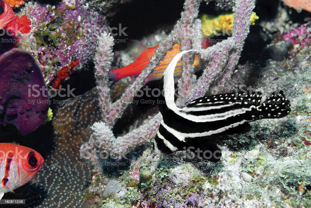 Topical saltwater fish Spotted Drum adult( Equetus punctatus) stock photo