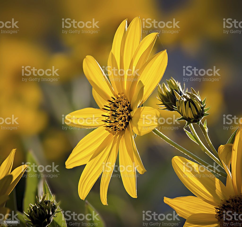 Topinambur. Jerusalem artichoke royalty-free stock photo