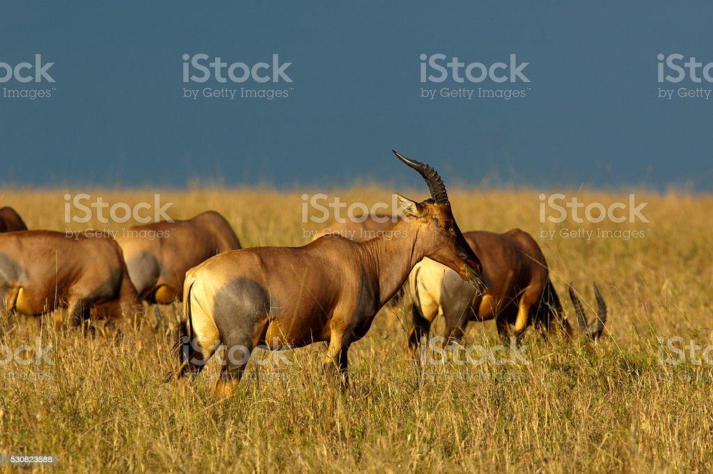 Topis on the rolling savanah, Masai Mara Game Reserve, Kenya stock photo