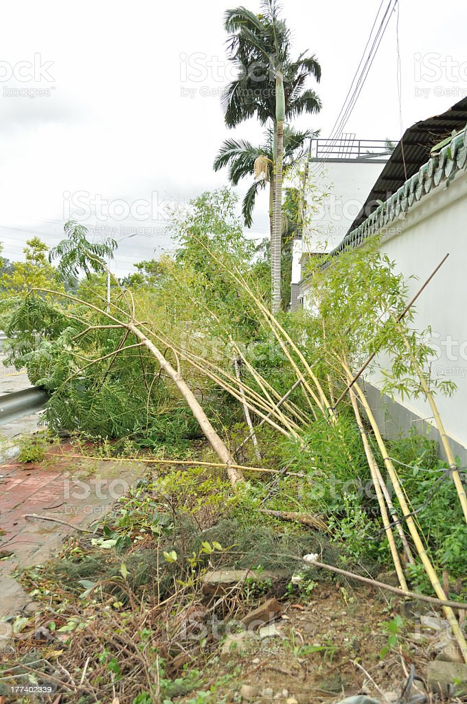 topple down bamboo trees after typhoon stock photo