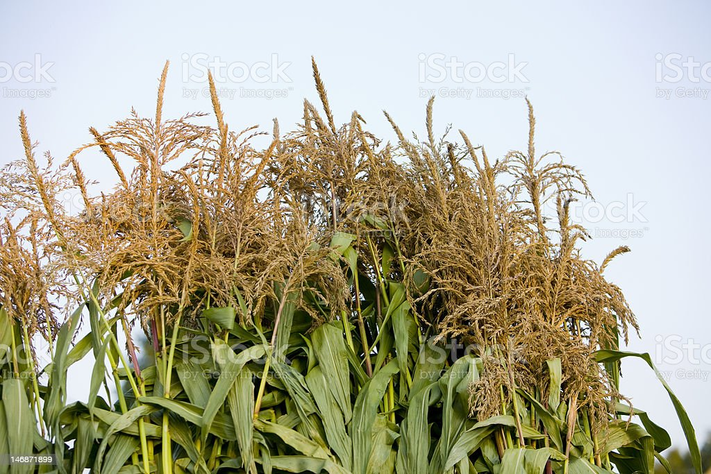 Tops of corn stalks,sky background stock photo