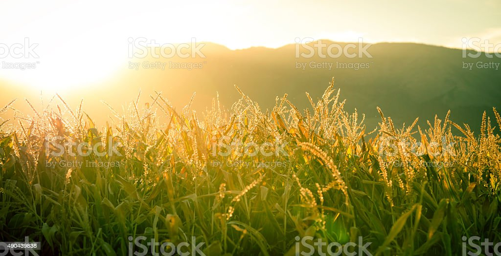 Tops of cornstalks and mountain tops stock photo
