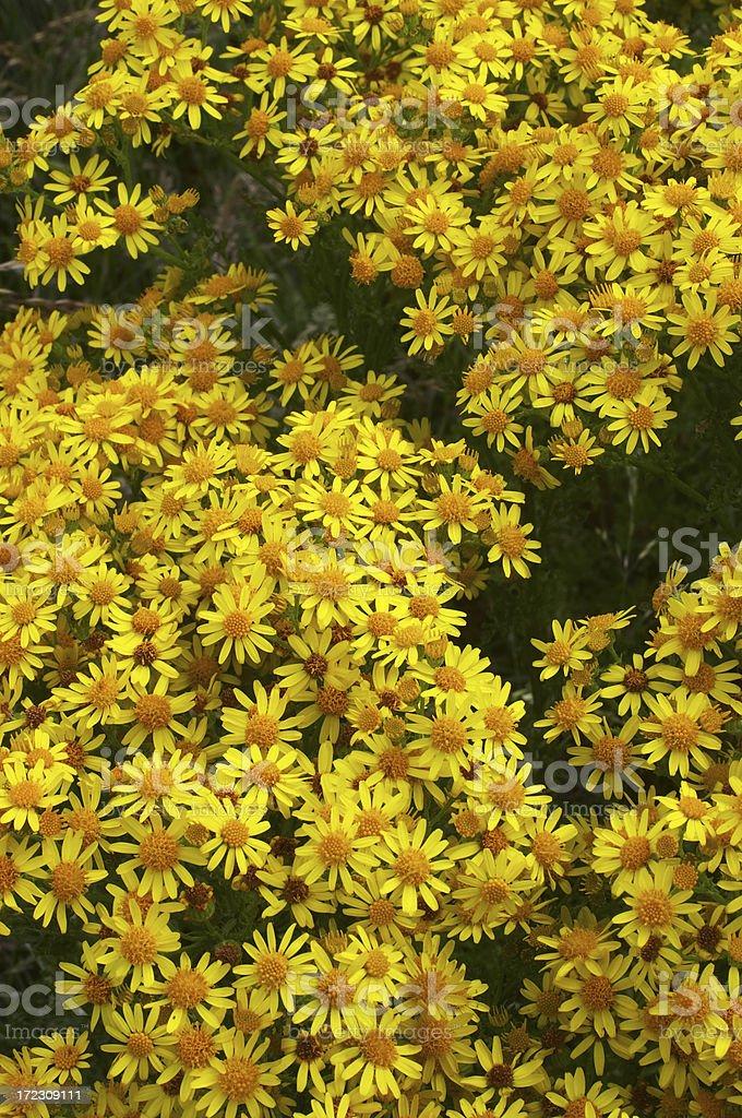 Ragwort Senecio jacobaea wild yellow daisies royalty-free stock photo