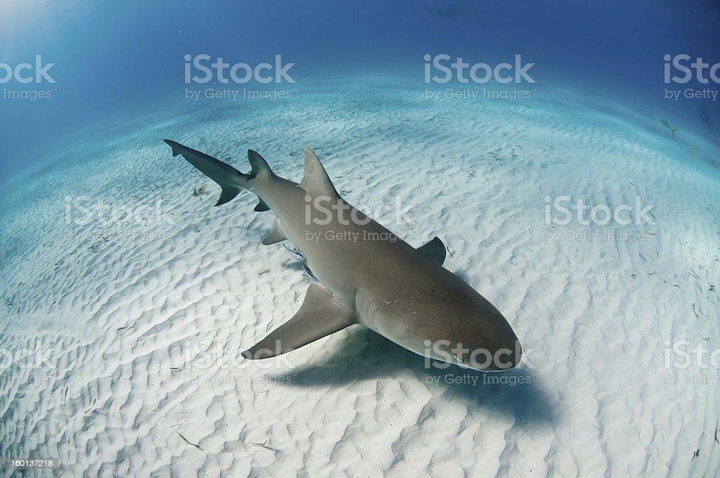Topview of a lemon shark stock photo