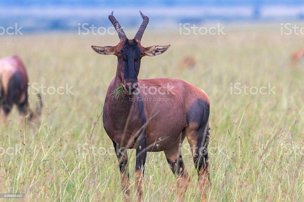 Topy gazelle in Masai Mara stock photo