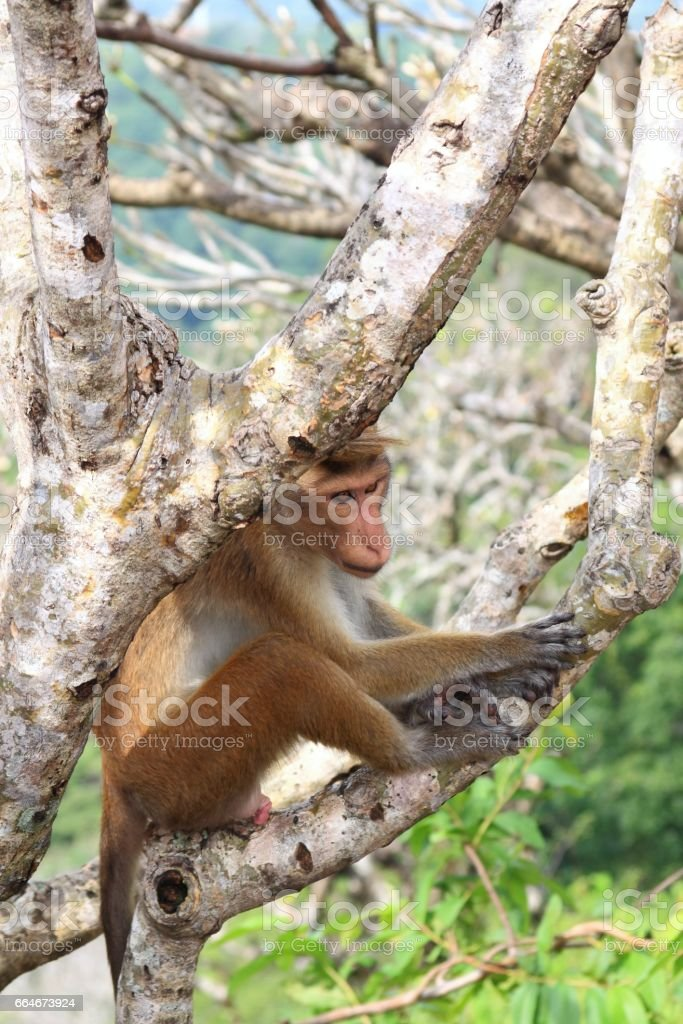 Toque macaque having a rest  after making love stock photo