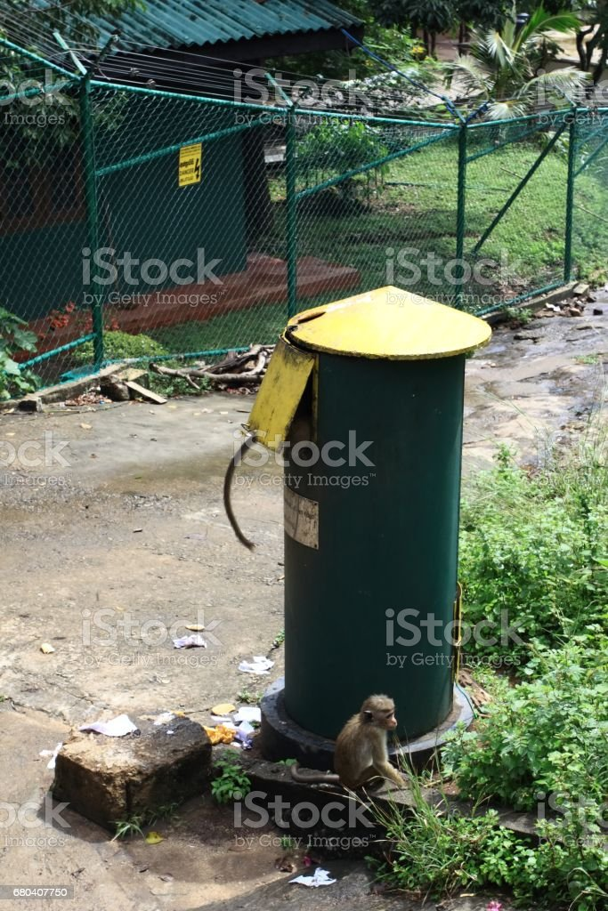 Toque macaque , Macaca sinica, looting in rubbish bin stock photo