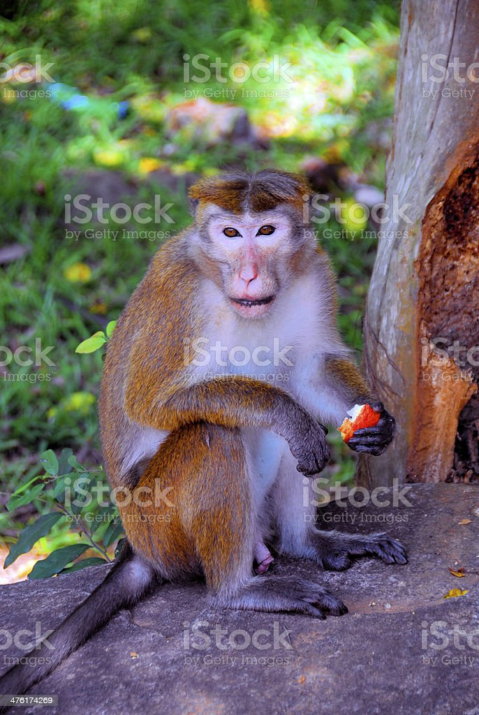 Toque macaque - Macaca sinica royalty-free stock photo