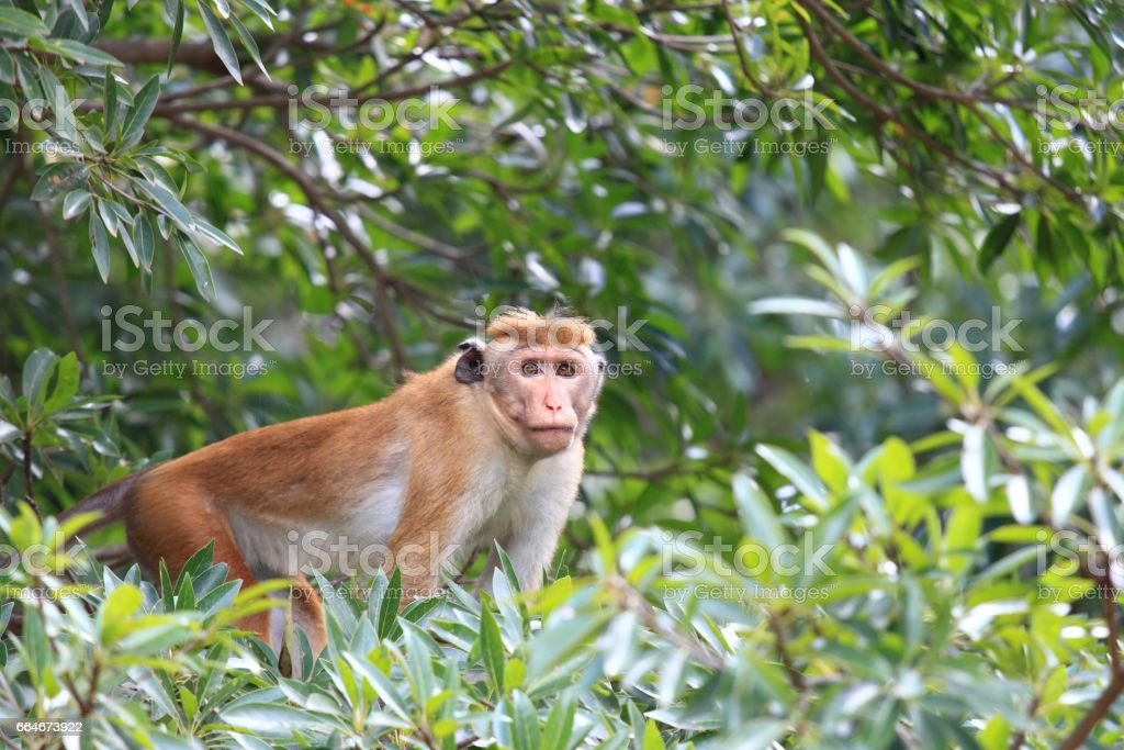 Toque macaque , Macaca sinica, sitting on the tree stock photo