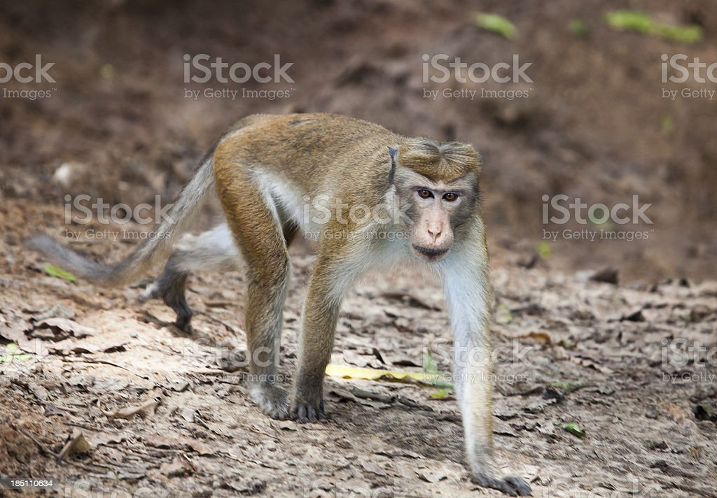 Toque Macaque, Macaca sinica, Yala NP, Sri Lanka stock photo