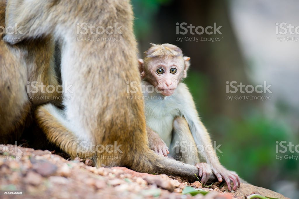 Toque macaque monkey baby in natural habitat in Sri Lanka stock photo