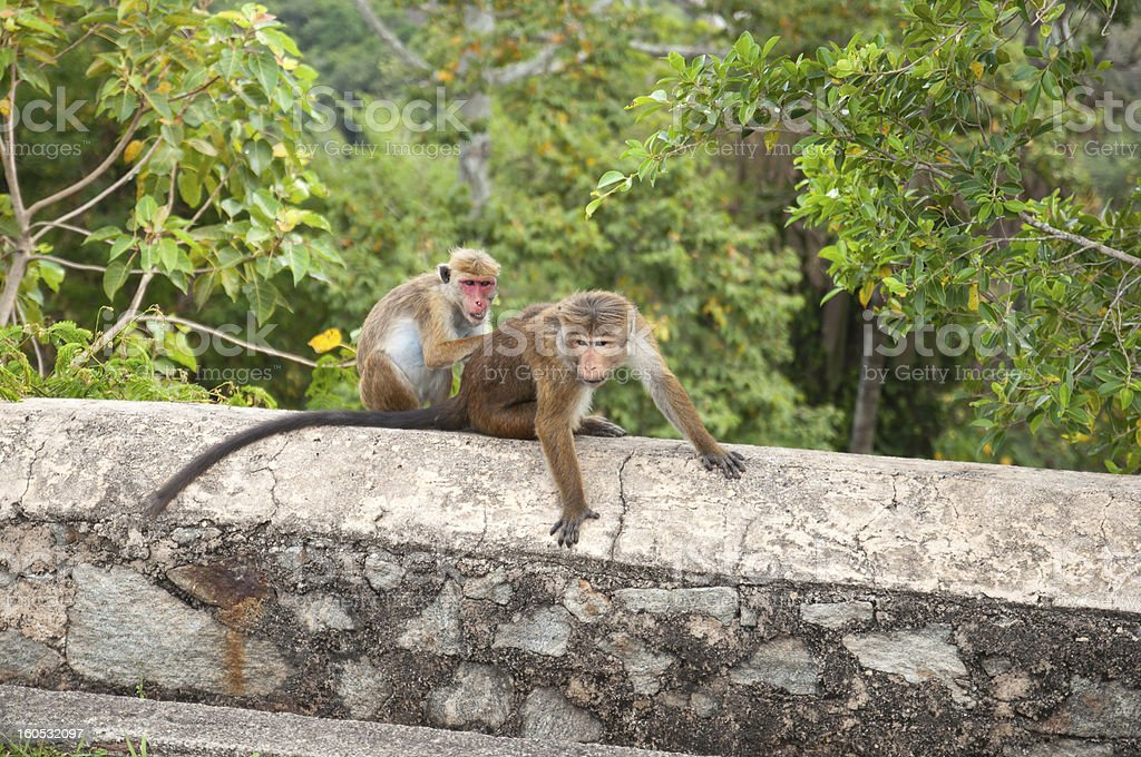 Toque macaque monkeys grooming each other in Sri Lanka stock photo