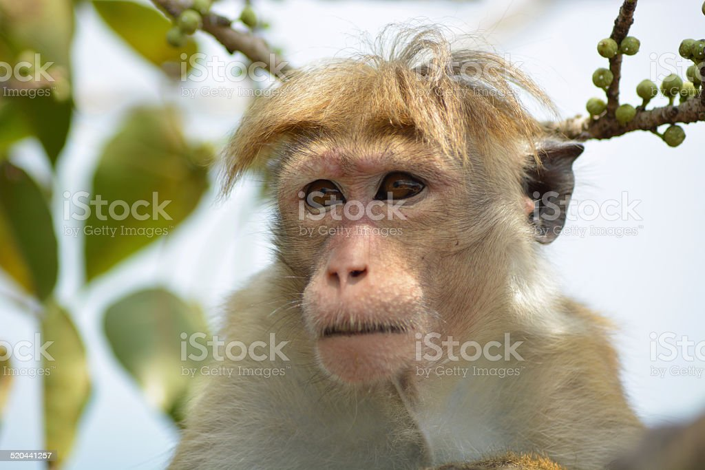 Toque Macaque stock photo