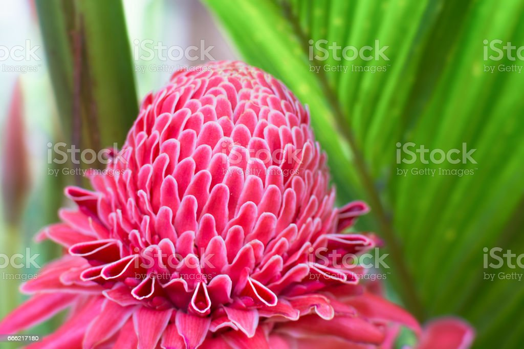 Torch Ginger flower blossom, Flower and nature. stock photo