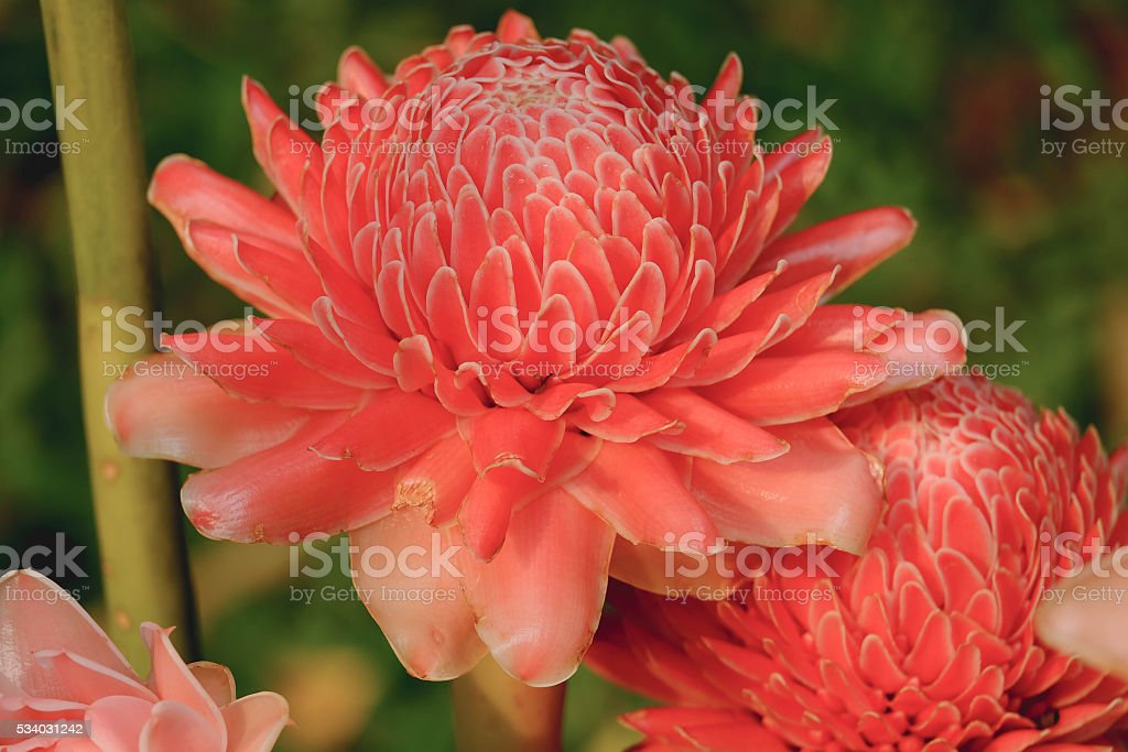 Torch Ginger,beautiful Torch Ginger blossom, stock photo