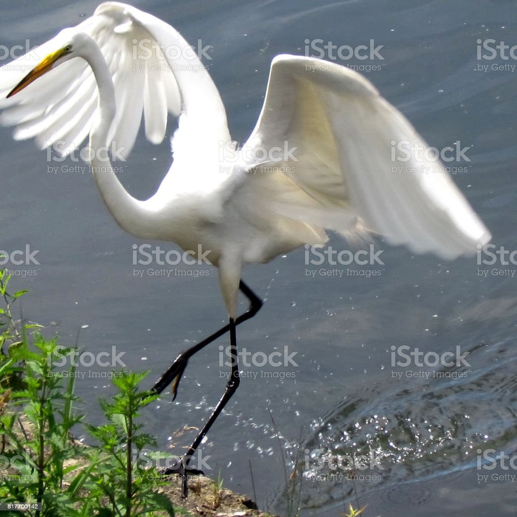Toronto Lake heron dancing 2013 stock photo
