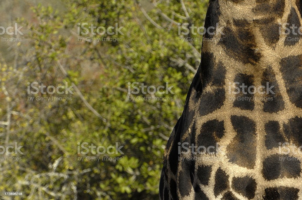 Torso from a adult male giraffe stock photo