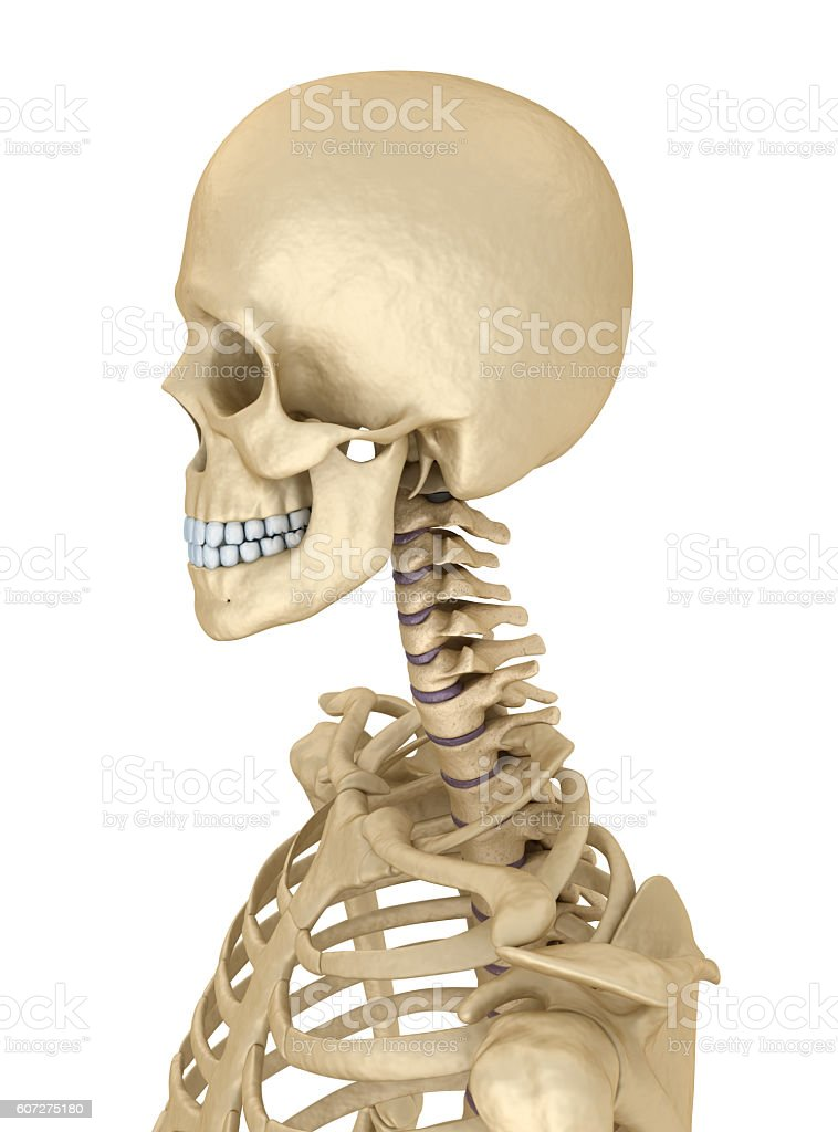 Torso Of Human Skeleton Isolated Medically Accurate 3d Illustration