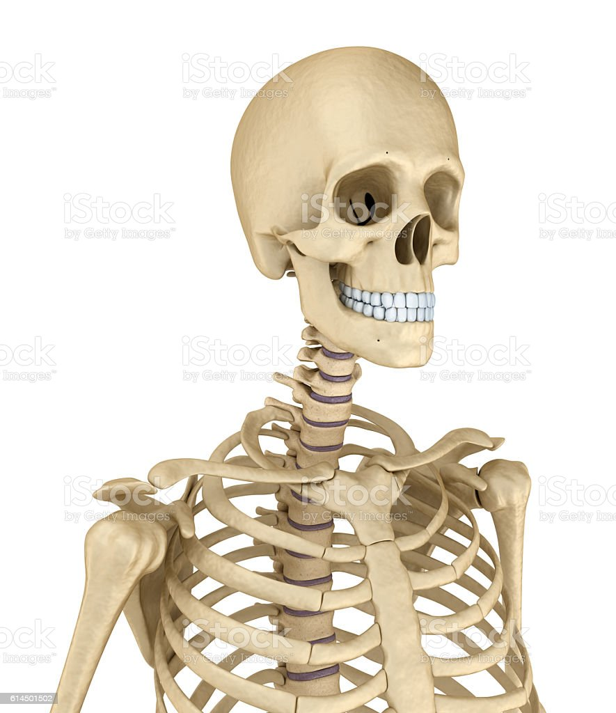Torso of human skeleton, isolated. stock photo