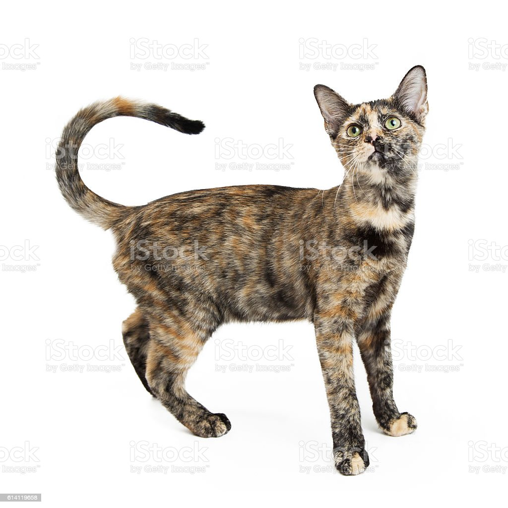 Tortie Cat With Curled Tail on White stock photo