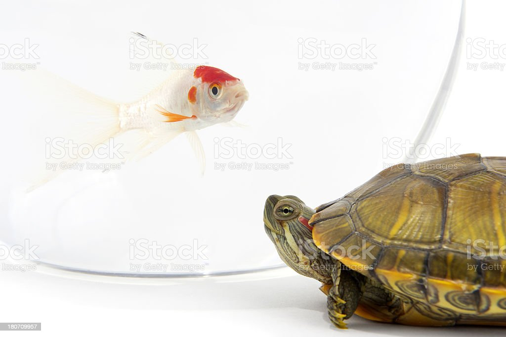 Tortoise and Gold Fish royalty-free stock photo
