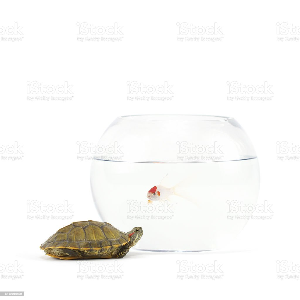 Tortoise and Gold Fish stock photo