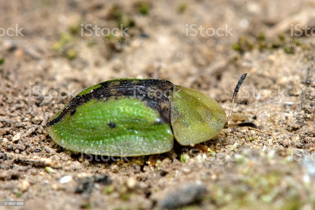 Tortoise beetle (Cassida vibex) stock photo