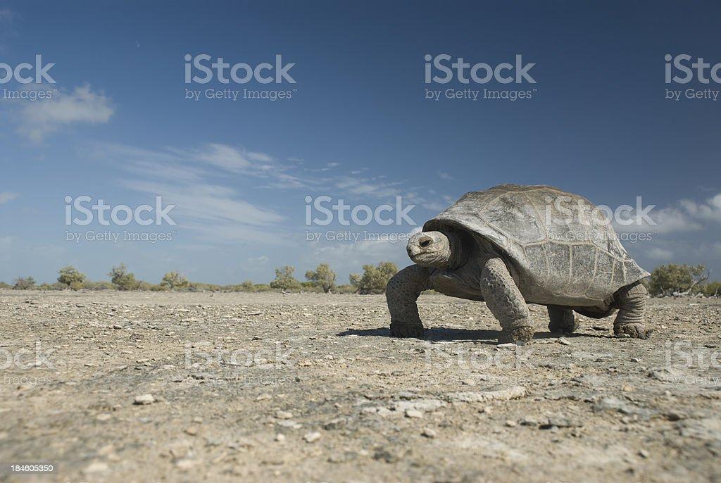 tortoise crosses arid lanscape stock photo