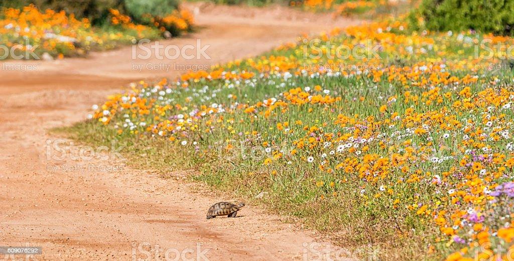 Tortoise Crossing stock photo