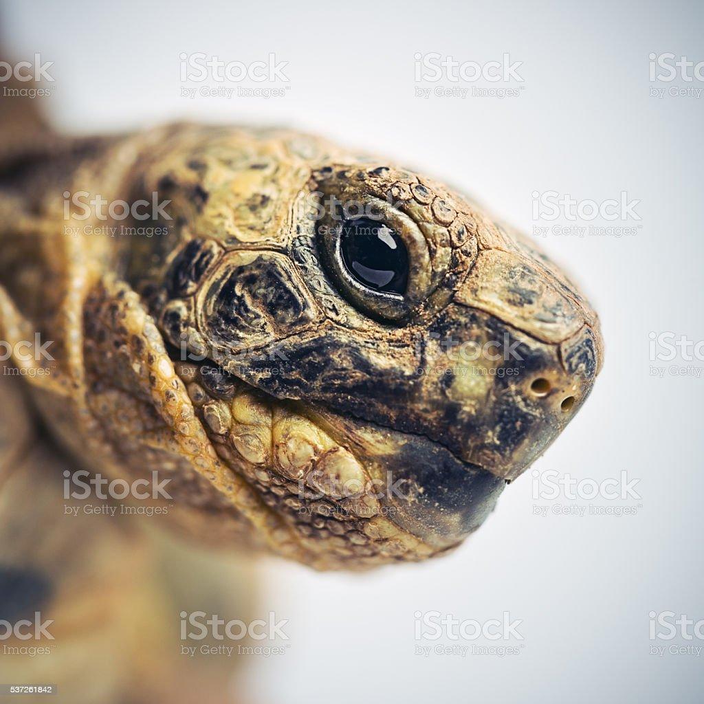 Tortoise head macro portrait stock photo