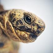 Tortoise head macro portrait