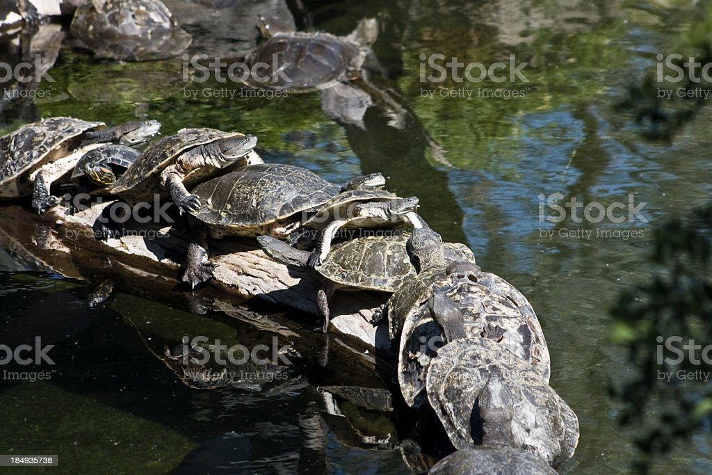 Tortoise in a row royalty-free stock photo