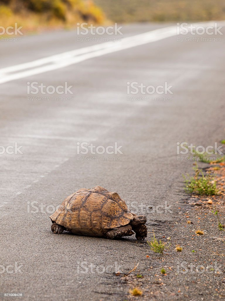 Tortoise in South Africa stock photo
