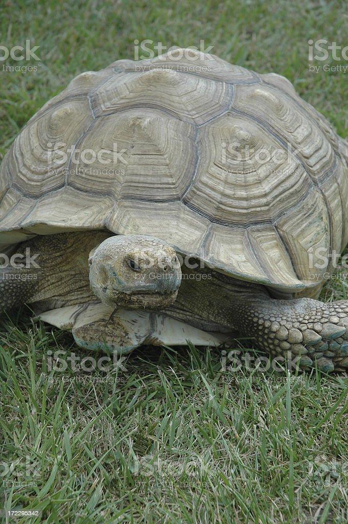 Черепаха на траве Стоковые фото Стоковая фотография