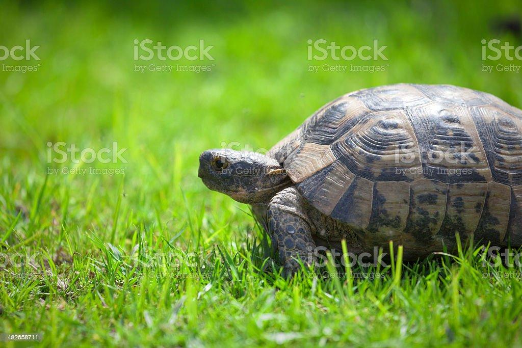 Tortoise on green grass royalty-free stock photo