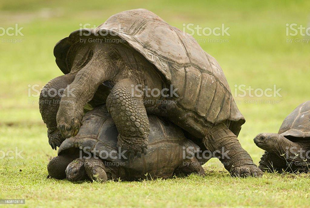 tortoise orgy stock photo