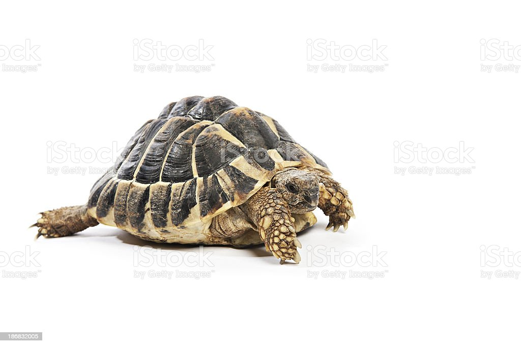 tortoise stock photo