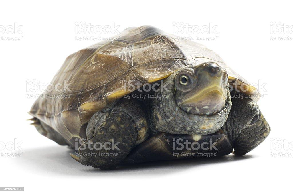 Tortoise Resting stock photo