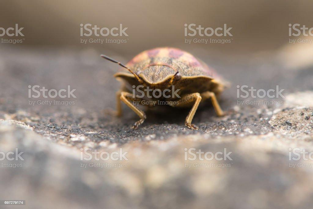 Tortoise shieldbug (Eurygaster testudinaria) head on stock photo