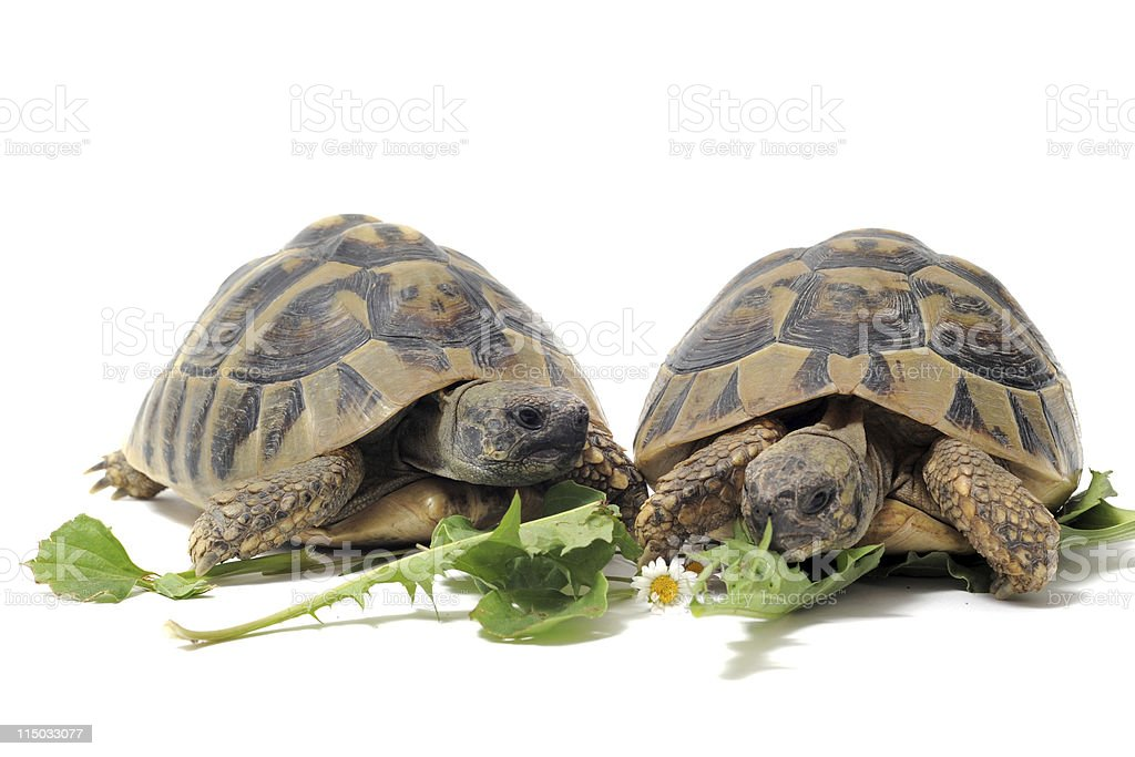 Tortoises eating stock photo