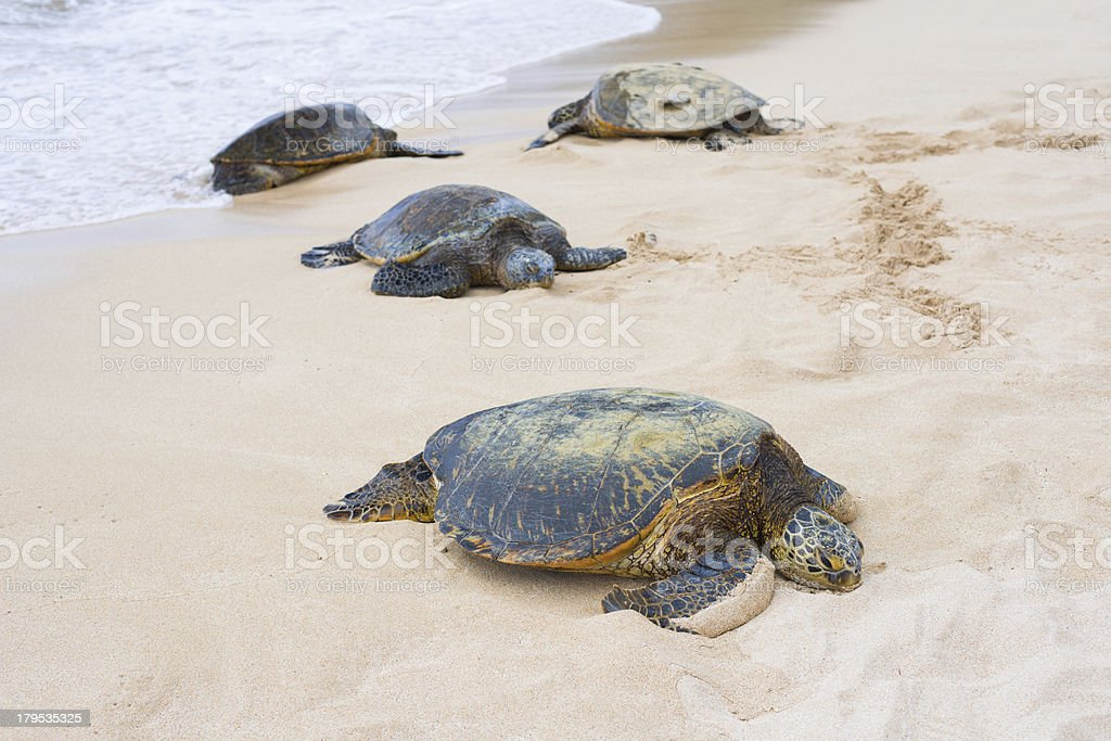 Tortoises in the Turtle bay royalty-free stock photo
