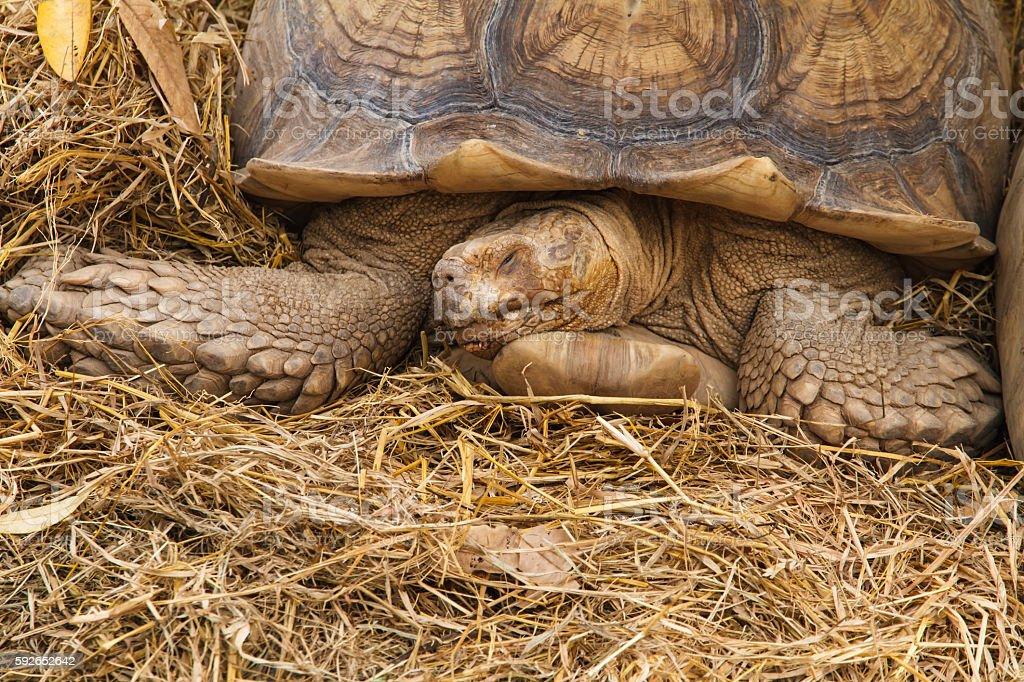 Tortoises sleeping. stock photo