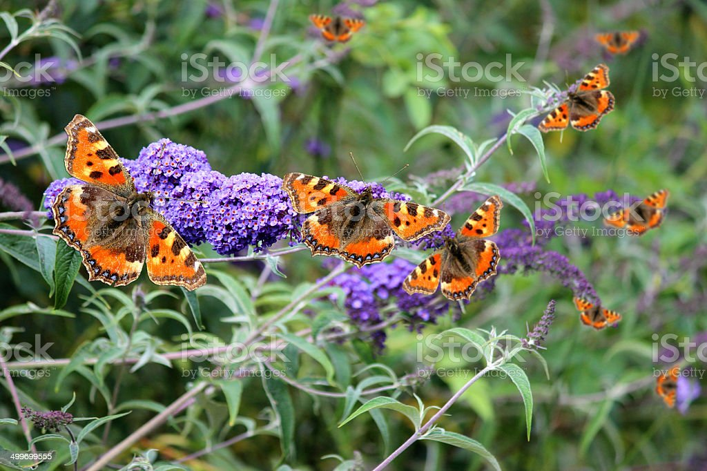 Tortoiseshell butterflies on purple buddleia flowers (Buddleja davidii), butterfly bush royalty-free stock photo