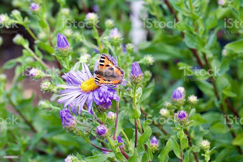 Tortoiseshell Butterfly on a michaelmas Daisy stock photo