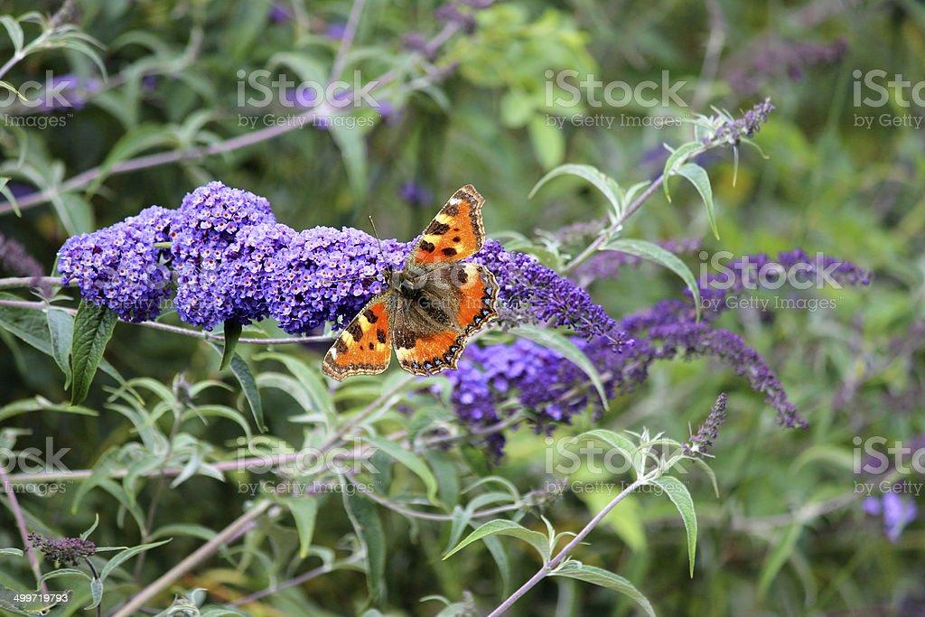 Tortoiseshell butterfly on purple buddleia flowers (Buddleja davidii), butterfly bush royalty-free stock photo
