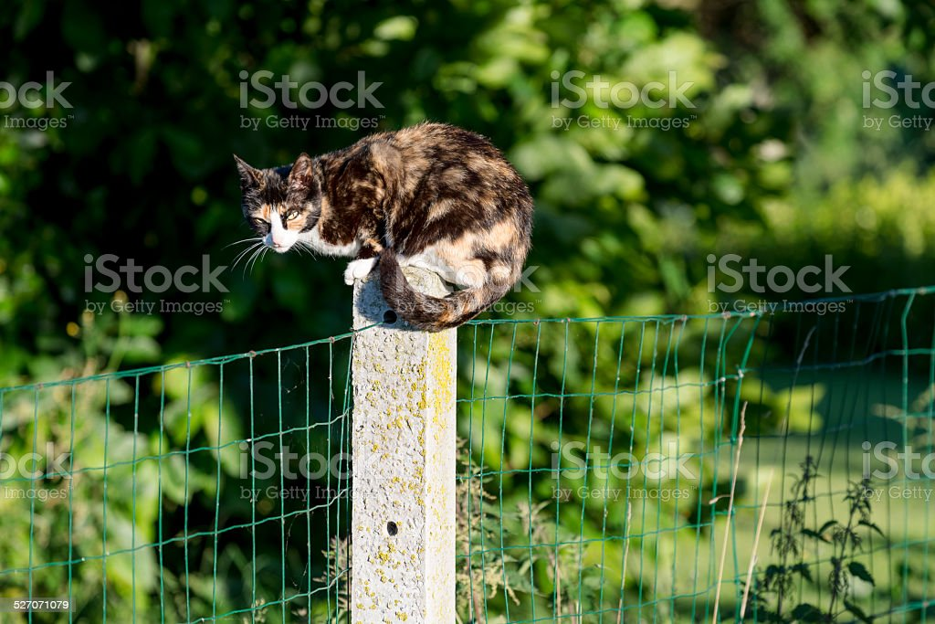 Tortoise-shell female cat looking at camera perched between two gardens stock photo
