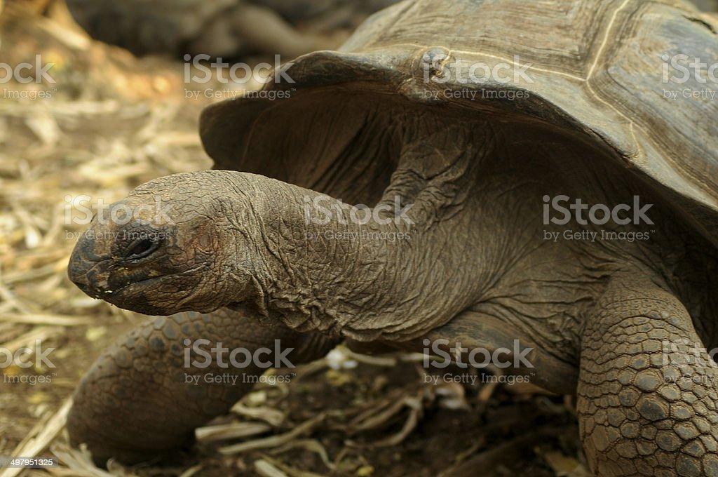tortuga africana stock photo