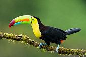 Toucan, bird in the wild, Costa Rica